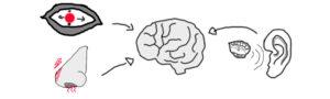 Schlafblog BettdeckeDE - Signalkettenbeispiel Reize von Sinnesorganen zum Gehirn